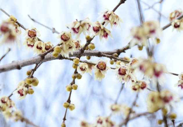 chimonanthus praecox ks01